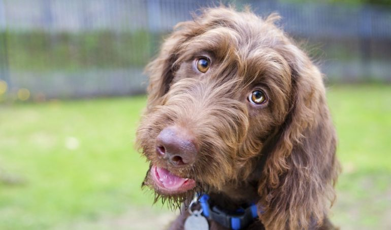 A Guide to the Labradoodle Personality