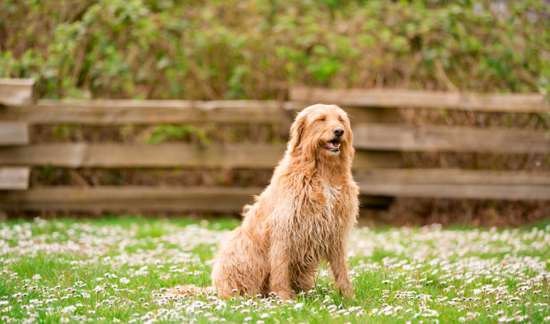 What Is The Typical Size Of A Labradoodle?