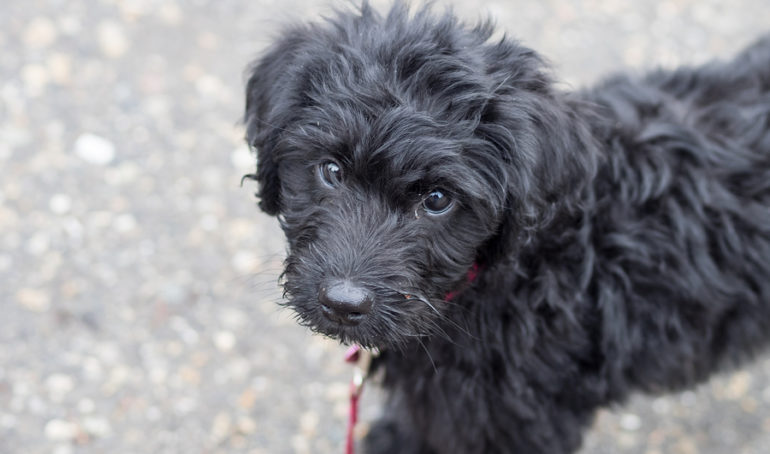 How to Train a Labradoodle: Socializing, Potty, Crates, and More