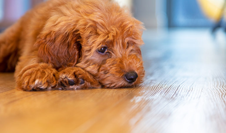 The Ultimate Guide to Labradoodle Grooming: Frequency, Advice, and Suggested Tools