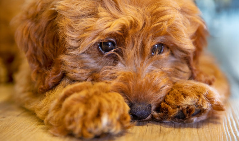 A Guide To Labradoodle Haircuts – When, Why, and How