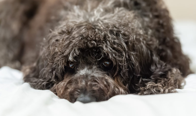 The 7 Best Labradoodle Grooming Tools For At-Home Use