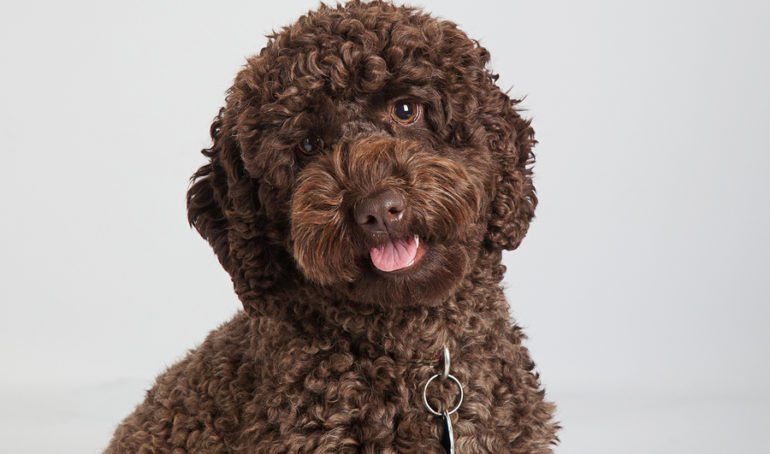 A Guide to Labradoodle Pet Insurance – Do You Need It and What Does It Cost?
